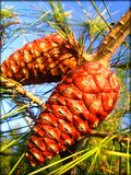 Pinus tree fruits macro background wallpaper fine art prints.  royalty free stock photography