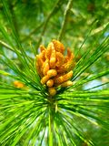 Pinus tree fruits macro background wallpaper fine art prints.  stock photography