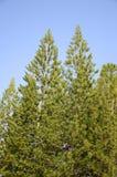 Pinus tree. In nature garden Stock Photo