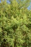 Pinus tree. In nature garden Royalty Free Stock Photo