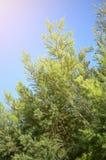Pinus tree. In nature garden Royalty Free Stock Image