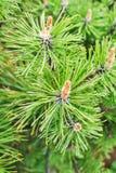 Pinus van de pijnboomberg mugo Turra Stock Afbeeldingen
