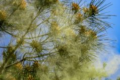 Pinus van de Pitsundapijnboom de bloei van brutiapityusa en stoffig in de lentetuin Pijnboomstuifmeel, gebruikt waarvan voor gene stock afbeelding