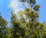 Pinus van de Pitsundapijnboom de bloei van brutiapityusa en stoffig in de lentetuin royalty-vrije stock afbeelding