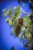 Pinus wallichiana Lizenzfreies Stockfoto