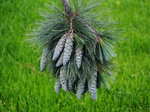Pinus wallichiana - bhutan pijnboom, blauwe pijnboom Stock Foto's
