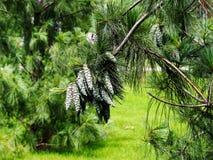 Pinus wallichiana - bhutan pijnboom, blauwe pijnboom Royalty-vrije Stock Afbeeldingen