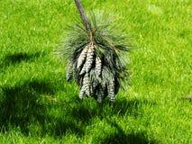 Pinus wallichiana - bhutan pijnboom, blauwe pijnboom Royalty-vrije Stock Foto's