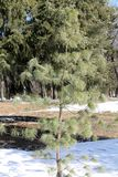 Pinus wallichiana or Himalayan white pine in garden. General view of young tree royalty free stock images