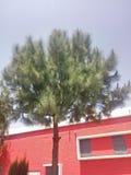 Pinus WallichianaPlants stock photography