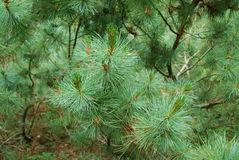 Pinusmugo Arkivfoto
