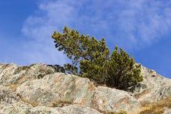 Pinusmugoen, böjde vid vinden arkivfoto