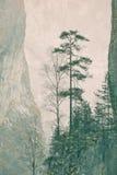 pinussylvestris Royaltyfri Bild