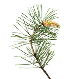 Pinussylvestrisfilial Royaltyfri Foto