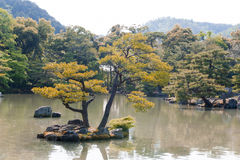 Pinusthunbergiien eller japanskt svart sörjer att växa på en holme fotografering för bildbyråer