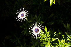 Pinwheel daisy on dark background Royalty Free Stock Photos