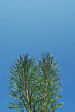 Piny branches. Two piny branches on background of the blue sky Royalty Free Stock Images