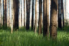 Piny forest. At sunny day Royalty Free Stock Images