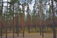 Piny wood Stock Image