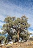 Pinyon和杜松森林 免版税图库摄影