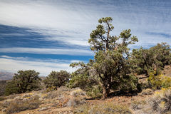 Pinyon和杜松森林 免版税库存照片