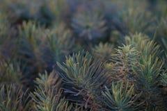 pinyon杉木针抽象特写镜头照片成群 库存图片