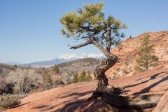 Pinyon-Baum in slickrock Land Stockbilder