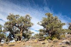 Pinyon et forêt de genévrier Images libres de droits