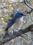 Pinyon Jay górzysty region Teksas fotografia stock