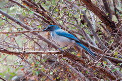 Pinyon jay Royalty Free Stock Image
