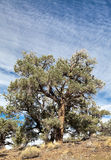 Pinyon and Juniper Forest Royalty Free Stock Photography