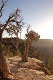 Pinyon-Kiefer auf großartigem Canyone Stockfotos