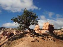Pinyon Pine Stock Image