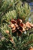 Pinyon pine (pinus edulis) cone Stock Image