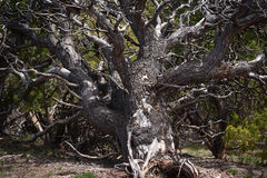 Pinyon Pine Tree Trunk and Branches Stock Images