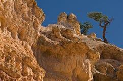 Pinyon Pines (Pinus edulis) Stock Image