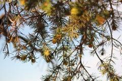 Pinyon sörjer trädet Arkivbild