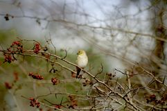 Pinzón amarillo encaramado Foto de archivo libre de regalías