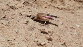 Pinzón carmesí-con alas eurasiático que come la sal metrajes