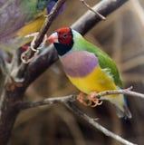 Pinzón colorido Fotos de archivo