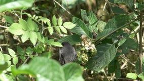 Pinzón de tierra medio masculino que come bayas en las islas de los galalagos metrajes