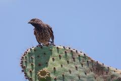 Pinzón del cactus en el cactus Fotografía de archivo libre de regalías