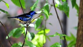 Pinzón del pájaro, azul y amarillo Foto de archivo
