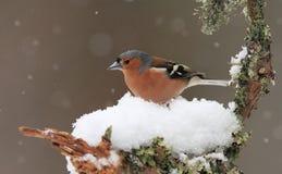 Pinzón vulgar en invierno Imagenes de archivo