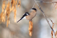 Pinzón vulgar que se sienta en una rama de árbol Imagenes de archivo