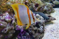 Pinzas de los pescados de la mariposa Imágenes de archivo libres de regalías