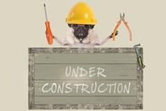 Pinze e cacciavite della tenuta del cane del carlino dietro il vecchio segno di legno con testo in costruzione, su fondo bianco Immagini Stock