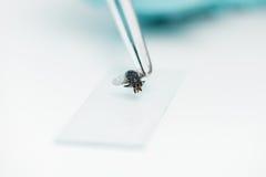 Pinzette mit Fliegen- und Glasobjektträger während des Experimentes im Labor Lizenzfreies Stockfoto
