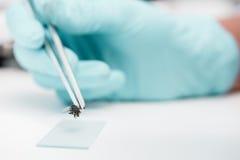 Pinzette mit Fliegen- und Glasobjektträger während des Experimentes im Labor Stockbild