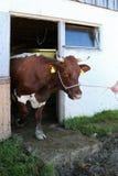 Pinzgauer-Kuh, die heraus von einer Scheune in Österreich geht Lizenzfreies Stockbild